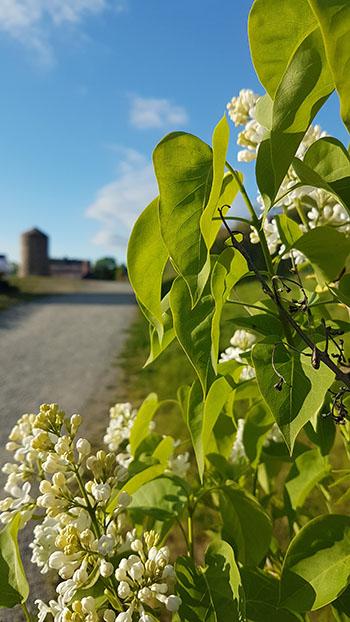 Blommor på Beckholmen. Foto: Joachim Kåhlman/QLM